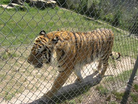A strong tiger confined in a sturdy chain link fence