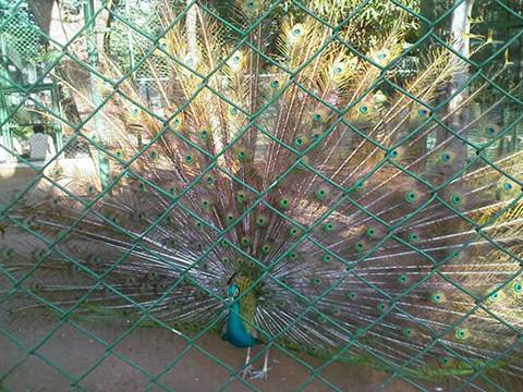 A beautiful peacock behind green chain link fence